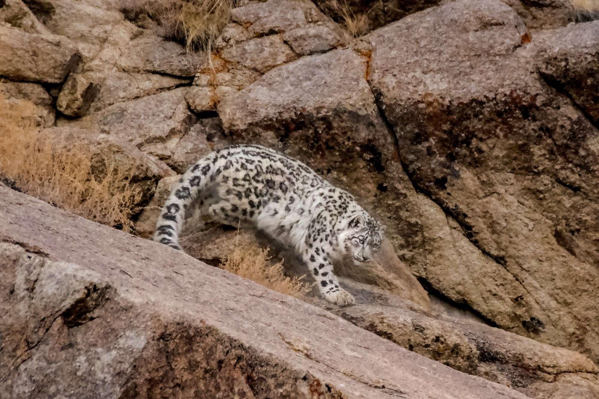 Snow Leopard Expedition Snow Leopard Tour
