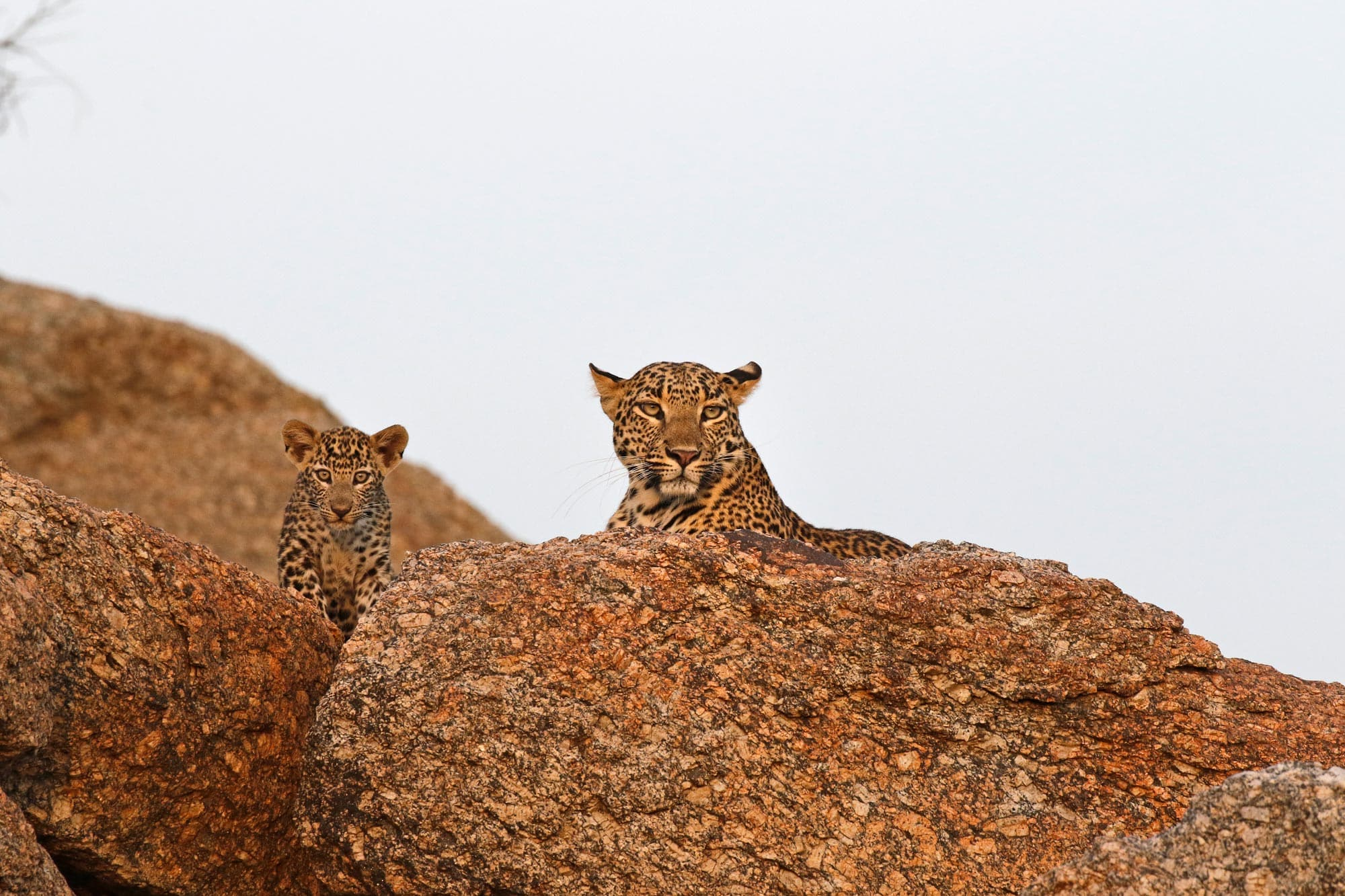 Leopards Of Jawai