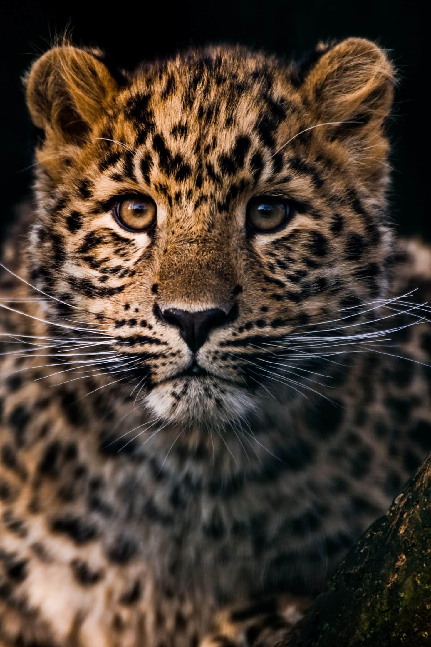 Amur Leopard Expedition