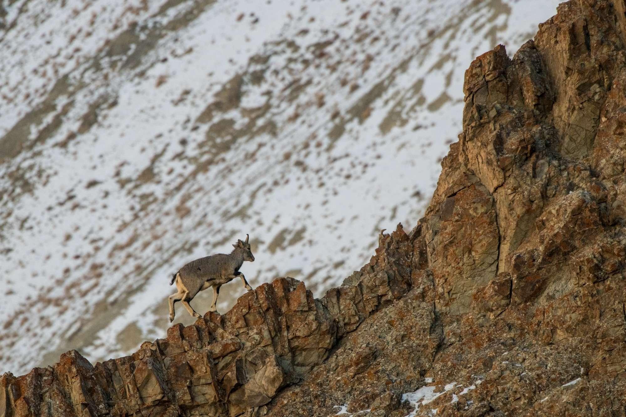 Blue Sheep In Hemis National Park