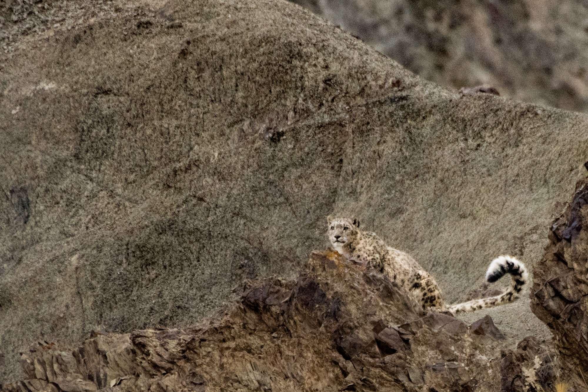 Snow Leopard In Hemis National Park