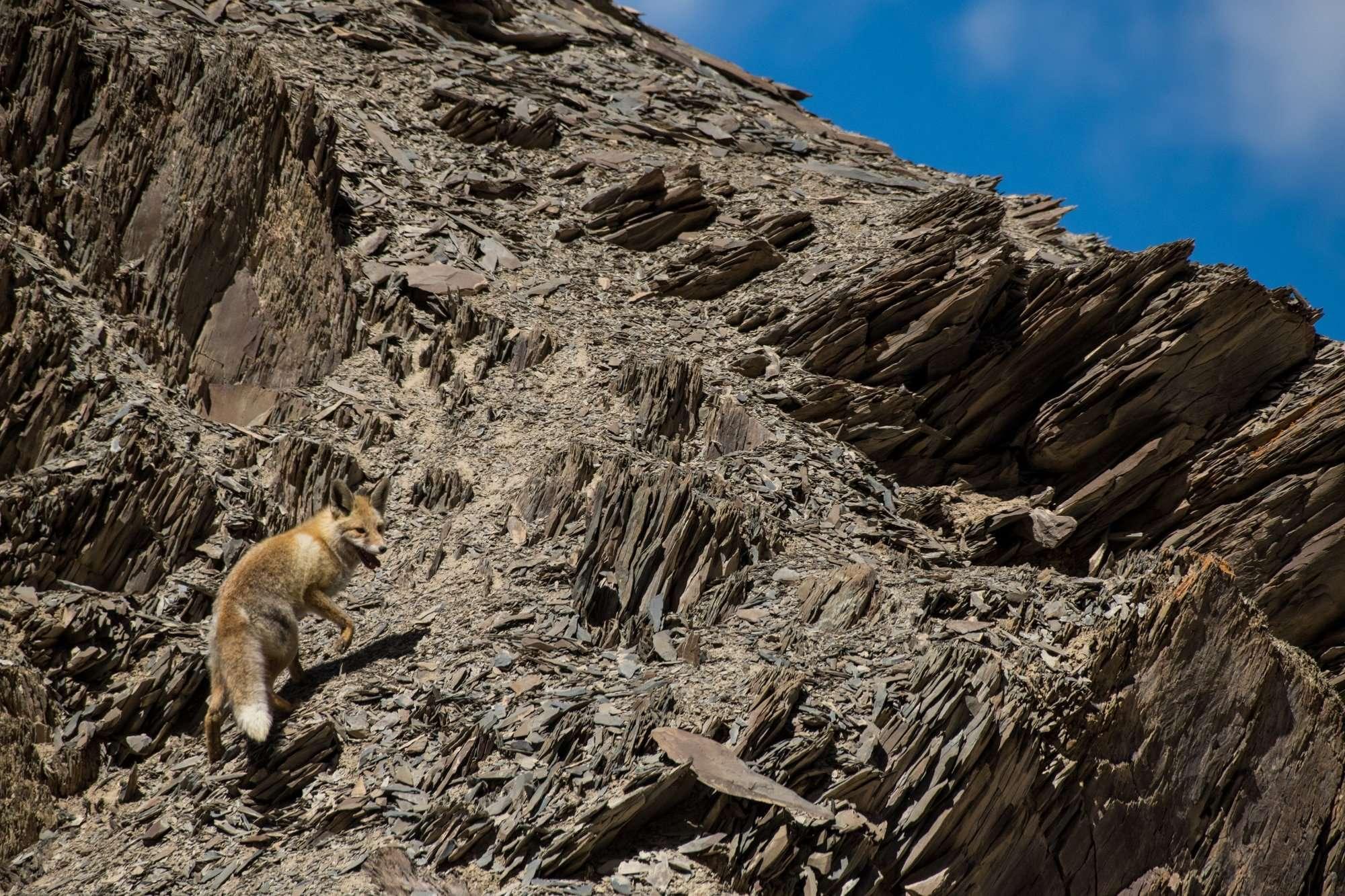 Fox In Hemis National Park