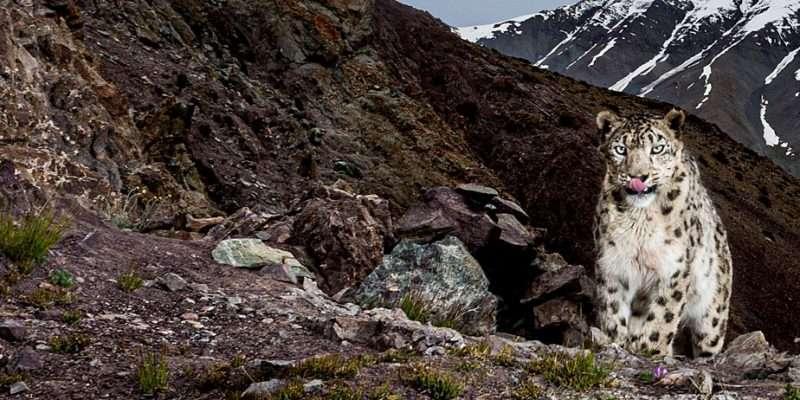 Recap Of Snow Leopard Tours 2020