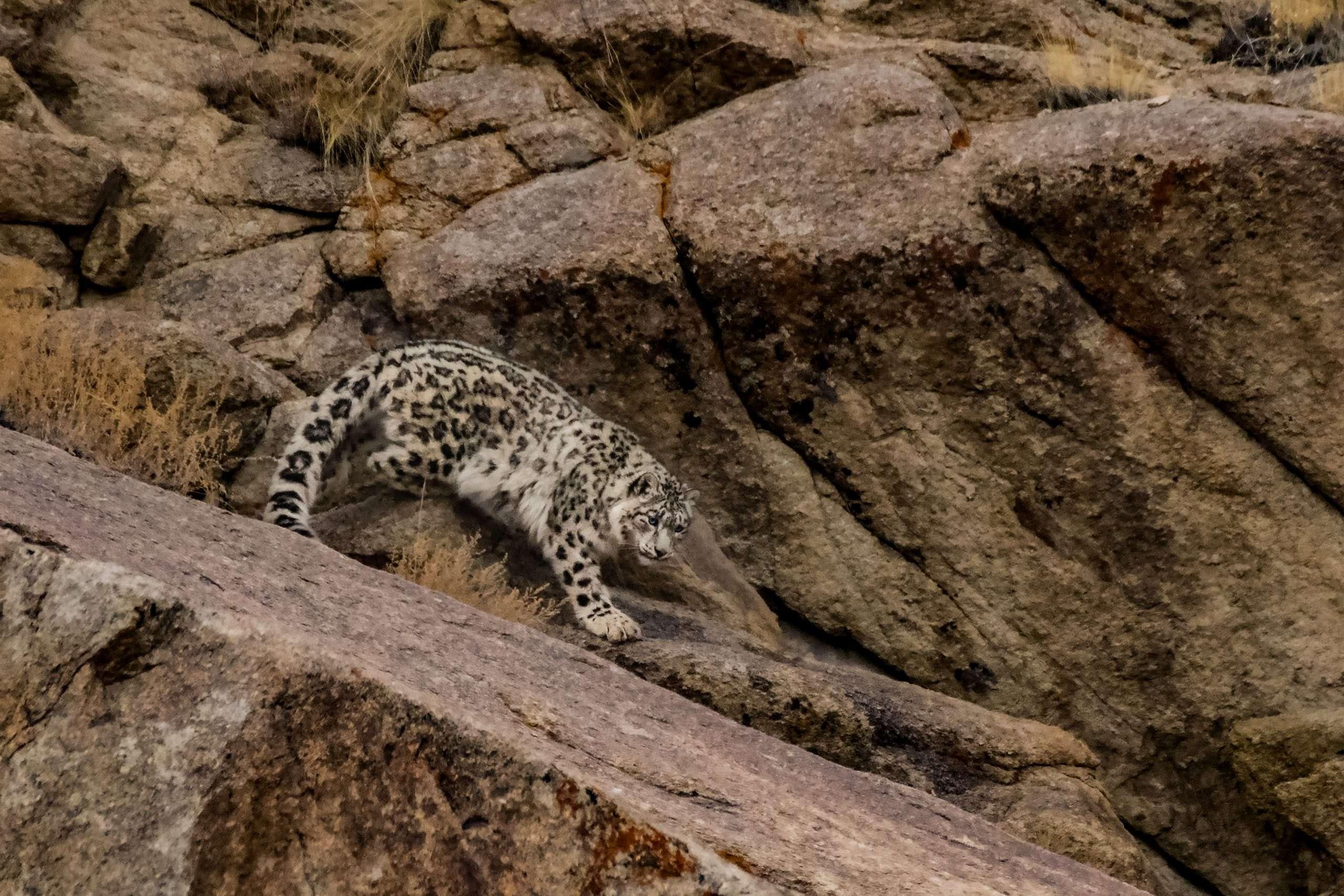 A Snow Leopard Descends