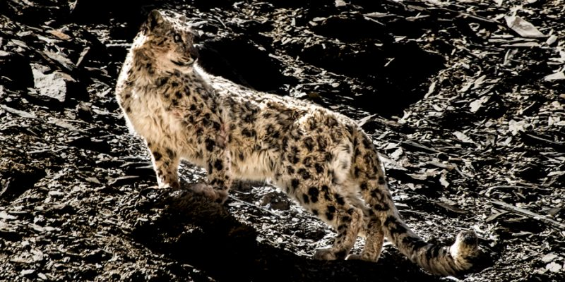 Snow Leopard Tracking Tour