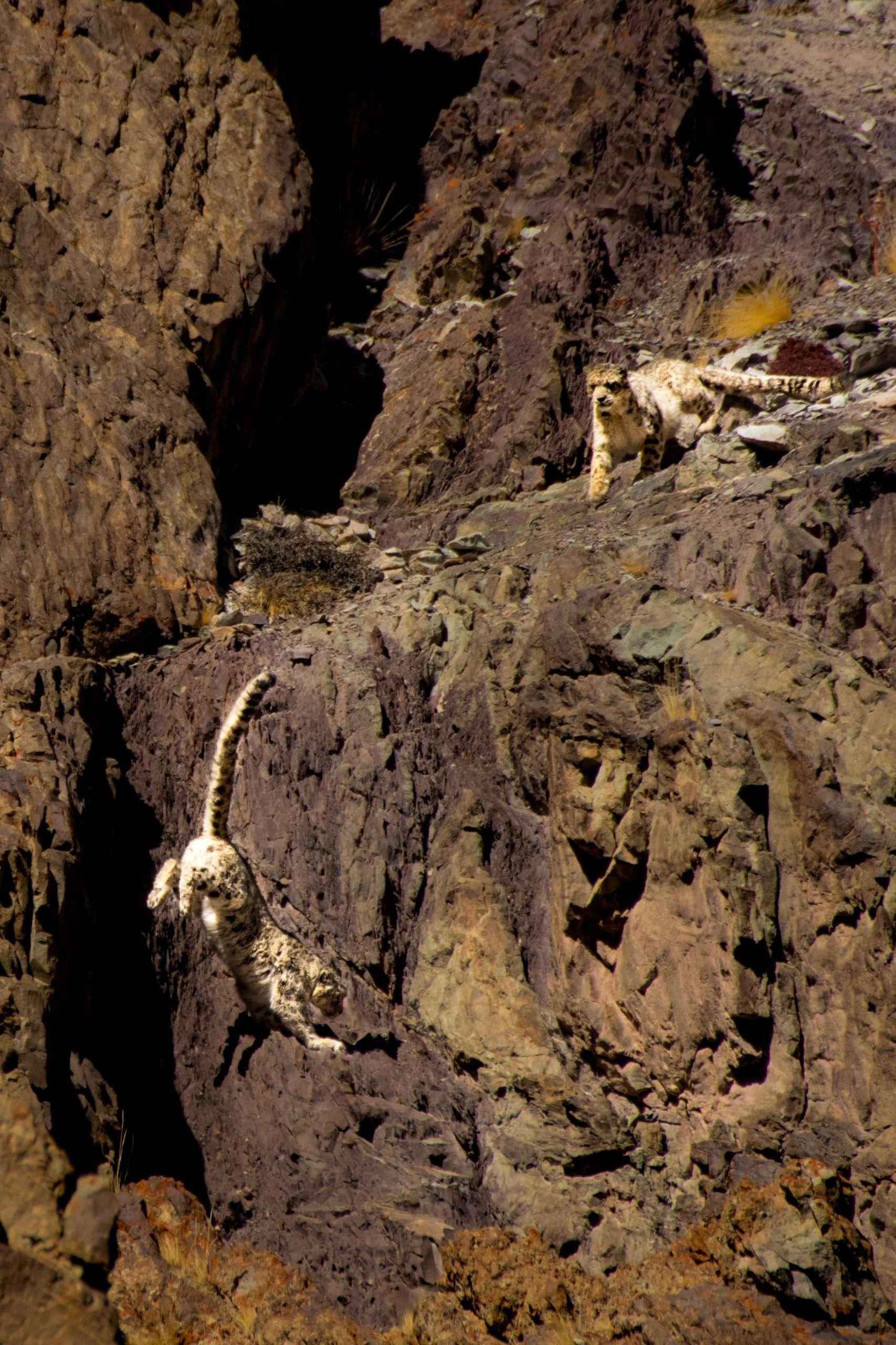 Snow Leopards In Hemis National Park