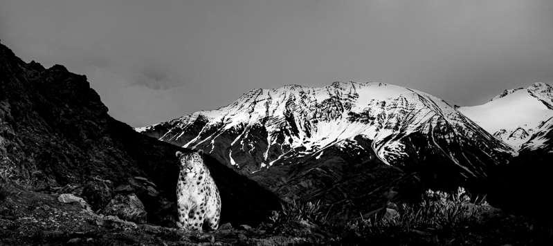 A Snow Leopard On A High Ridge. The Himalayas. Definitely Not A Snow Leopard Safari.