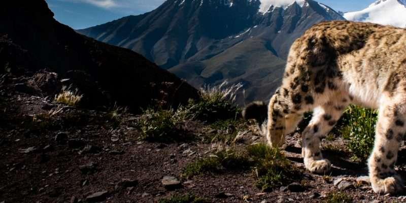 Snow Leopard Safari