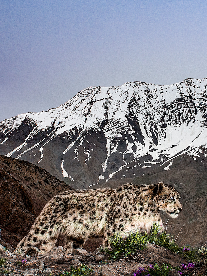 Where To See Snow Leopards