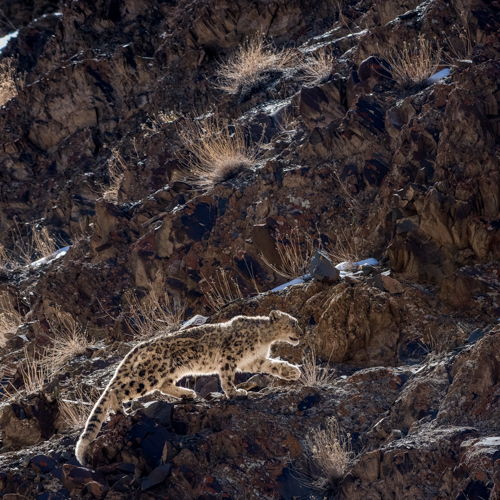 Classic Snow Leopard Tour To Ladakh's Hemis National Park