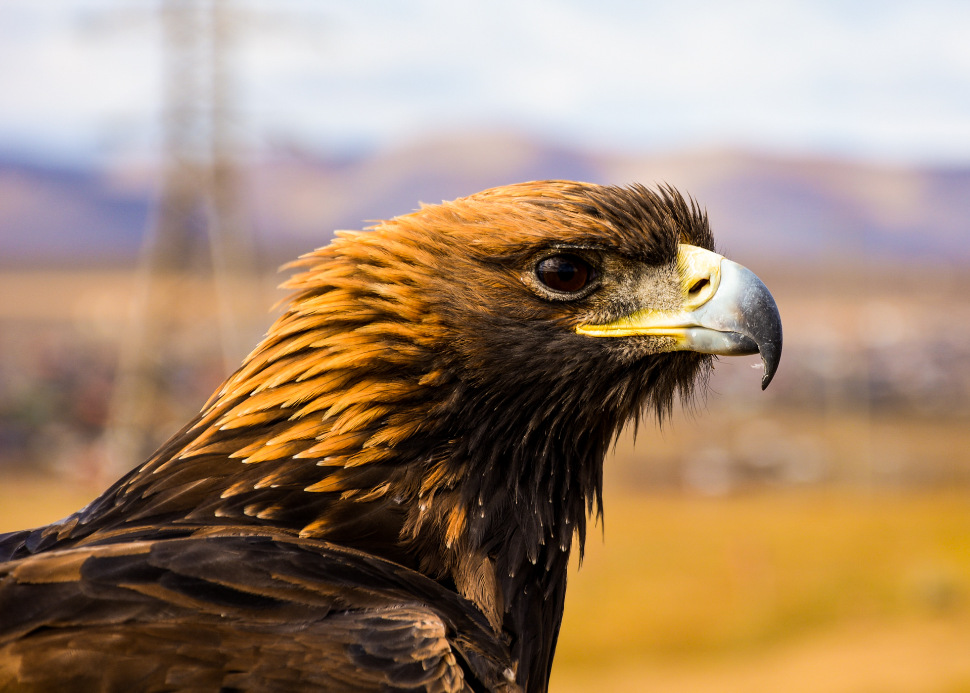 A Golden Eagle On The Snow Leopard Tour To Mongolia