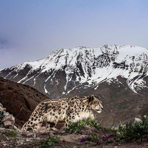 Signature Snow Leopard Expedition To Ladakh's Hemis National Park