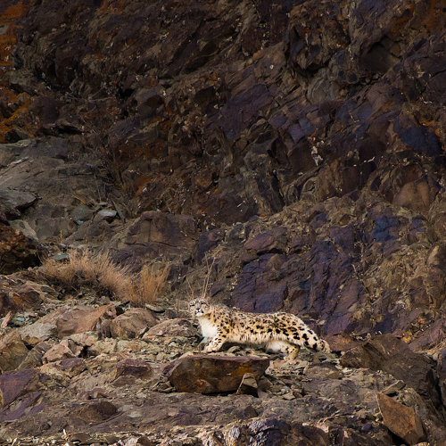 Snow Leopard Expedition To Kyrgyzstan