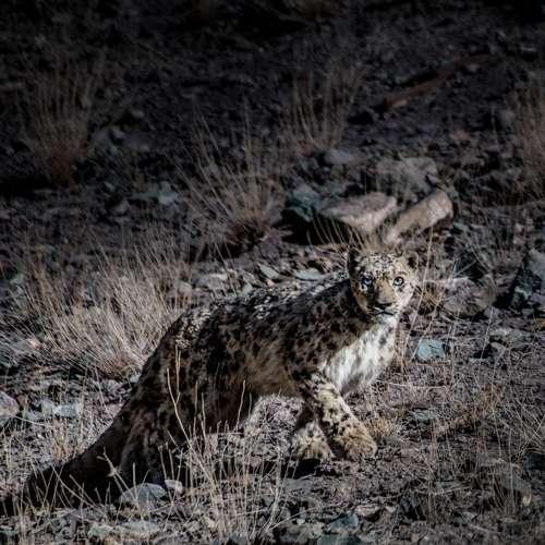 Snow Leopard Tour To Mongolia