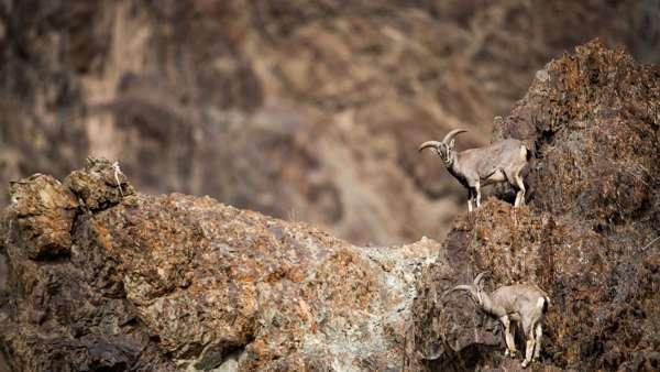 Blue Sheep, Shot On A Photo Tour In Ladakh
