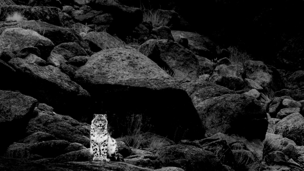 A wild snow leopard, photographed on a photo tour in Ladakh, India