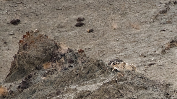 A Snow Leopard Stalks Blue Sheep, Shot On A Snow Leopard Photo Tour In Hemis National Park