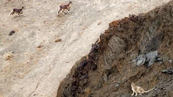 A Snow Leopard Observes Blue Sheep. Hemis National Park