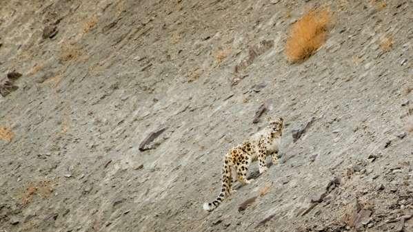 A Snow Leopard Surveys A Valley, Shot On A Snow Leopard Photo Tour In Ladakh