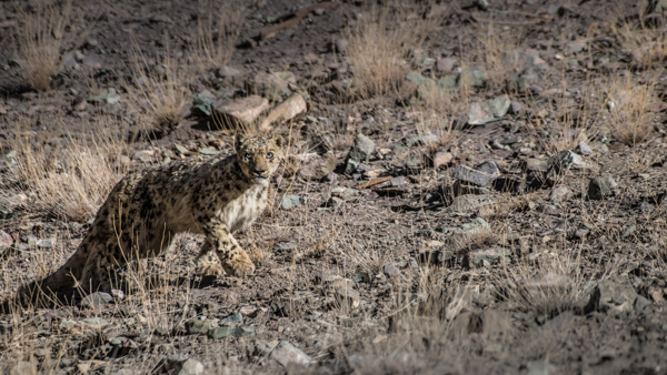 A Wild Snow Leopard Leaves His Kill On A Photo Tour