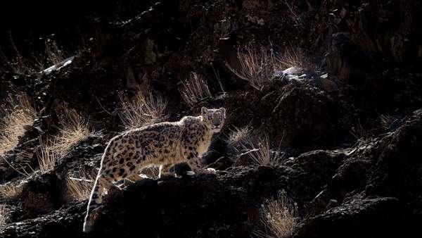 A Rim-lit Snow Leopard Shot In Hemis National Park On A Snow Leopard Photo Tour