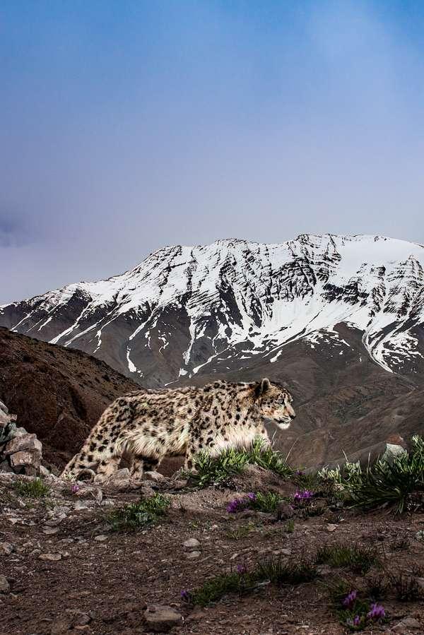 A Wild Snow Leopard Walks On A High Ridge. Camera Trap.