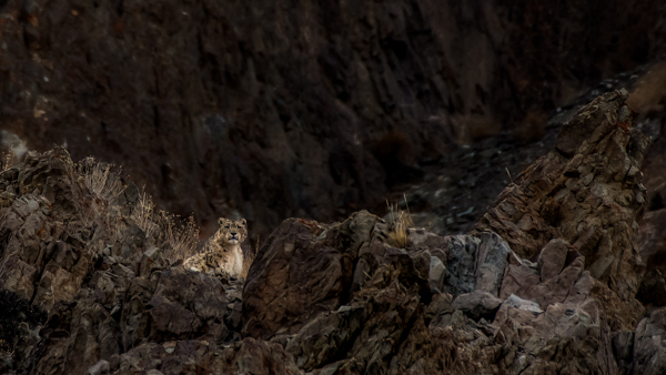 Another Wild Snow Leopard, Also In Hemis National Park, Shot On A Snow Leopard Photo Tour