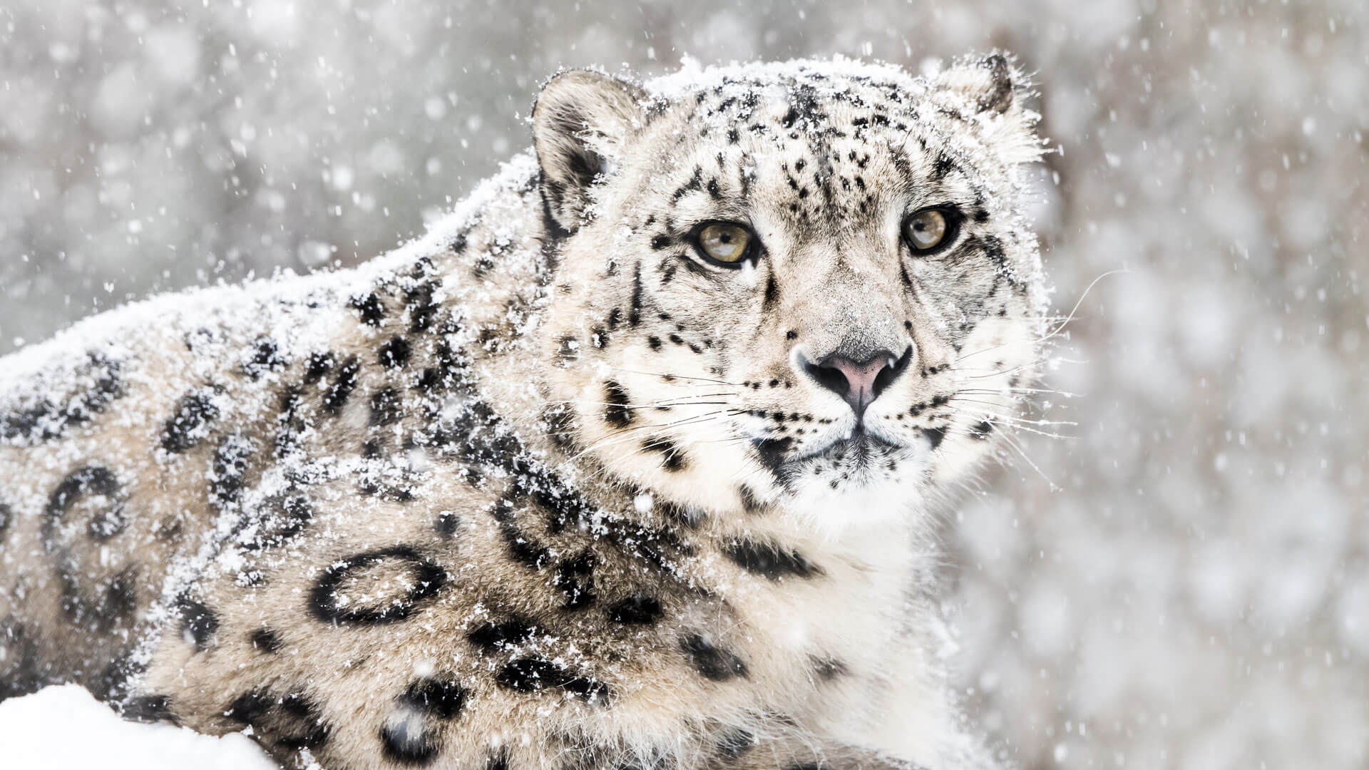 A Snow Leopard Portrait - From The Roger Williams Park Zoo, Rhode Island